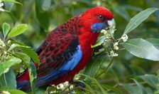 Crimson rosellas can detect members of their own sub-species by the smell of their feathers.