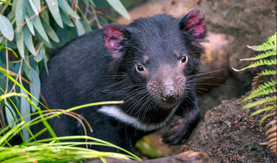 an overview of the endangered species in australia Endemic species many of new zealand's animals and  floated or were blown from australia or the pacific islands  overview - species unique to new zealand',.