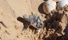 A flatback (<em>Natator depressus</em>) turtle hatchling crawls towards the water's edge at Eco Beach, WA. (Carolyn Barry)