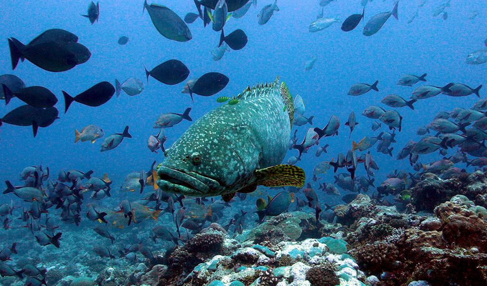 Single Keystone Species May Be Key To Reef Health Australian