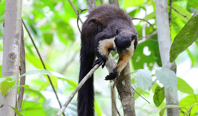 The black giant squirrel can measure up to 1.1m including body and tail.