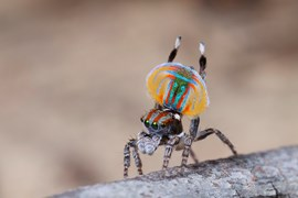 peacock spider, dancing
