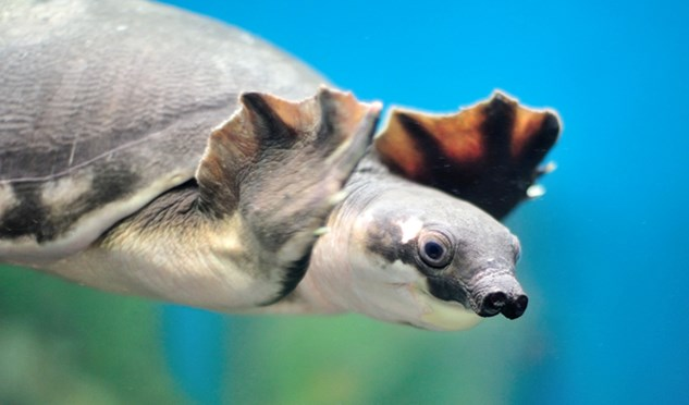 A pig-nosed turtle. (Credit: pitcharee/Shutterstock)