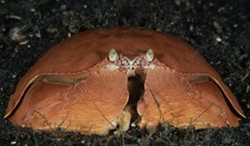 The shame-faced crab.