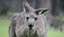 This large male Eastern Grey Kangaroo (<em>Macropus giganteus</em>) looks less than impressed at being caught out in the rain.