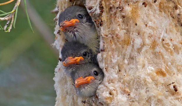 Three mistletoe chicks in a nest.
