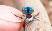 During his bushwalks, peacock spider photographer Jürgen Otto watches the ground for bright specks in the leaf litter.