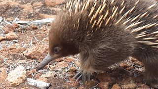 A wild echidna is so tame that it doesn't mind human presence.