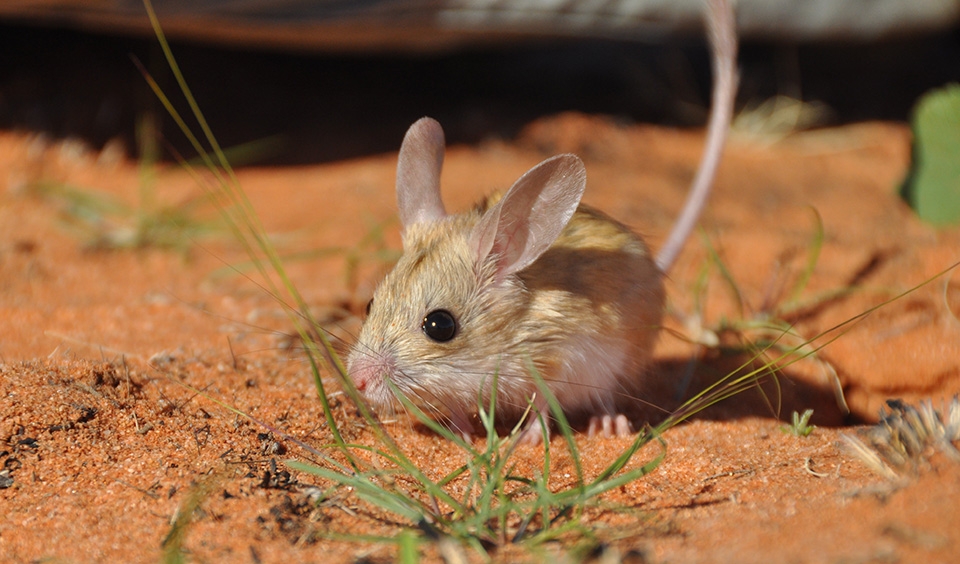 mice in australia Ozgene is an australian company that generates customised genetically  modified mice for drug validation and medical research trials worldwide using  lean.