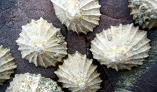Teeth of the limpets has been found to be stronger than spider's silk.