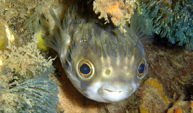 A slender-spined porcupinefish