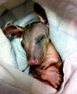 A rescued possum joey enjoys a nap.
