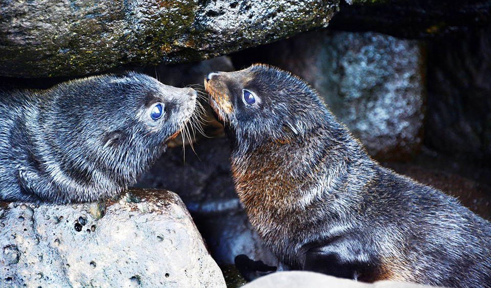 australian fur seals on the road to recovery