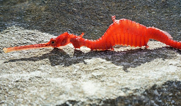 A rare ruby seadragon washed up in Western Australia.