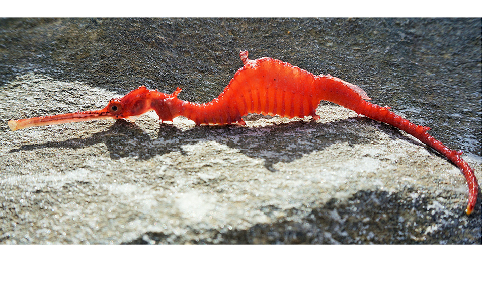 First live images of the ruby seadragon