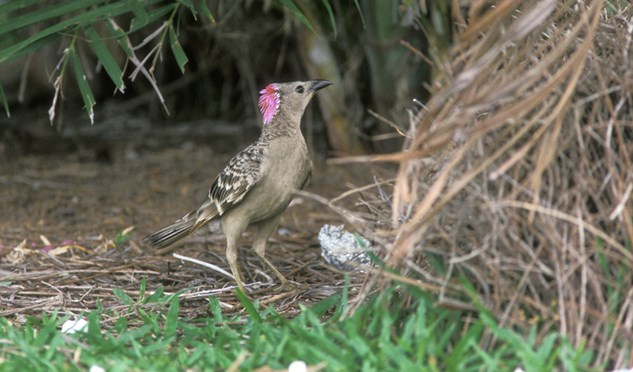 The male great bowerbird sports a pink crest