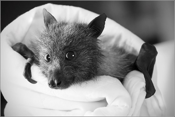Winston the flying fox was orphaned when his mother flew into powerlines.
