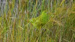 This eastern ground parrot (Pezoporus wallicus) was spotted foraging in the grasses for some breakfast in Jervis Bay national Park, NSW