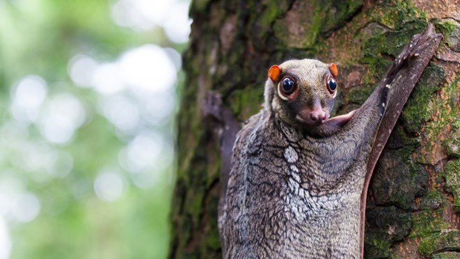 The Sunda flying lemur is really a colugo