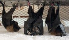 Three flying foxes hang about at the Tolga Bat Hospital while they're on the mend.