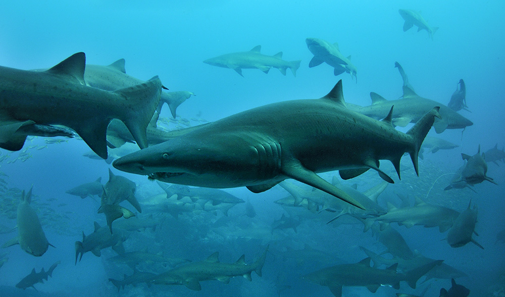 Nurse Shark Facts For Kids