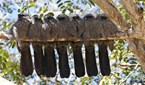 A family of apostlebirds snuggle up on a branch