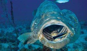 A cod, with its mouth being cleaned by a fish, in the waters off of Point Lookout on North Stradbroke Island.