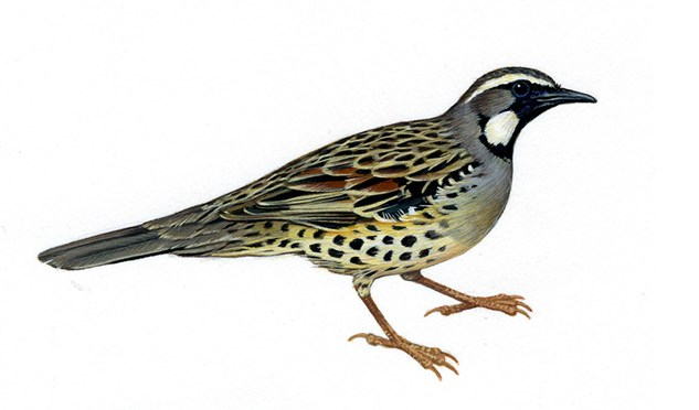 The Australian spotted quail-thrush hasn't been seen in the wild since 1977 and is presumed extinct.