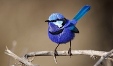 A male splendid fairy-wren (Malurus splenden) in electric shades of violet-blue, turquoise and pale-blue