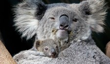 The first koala joey to be born at Taronga this season is a little female, yet to be named.