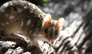 Trevor Evans from Secret Creek Sanctuary talks about eastern quolls.