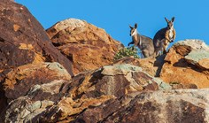 A pair of yellow-footed rock wallabies atop Weeroopie Hill, just one of their granite citadels on Plumbago Station, South Australia.