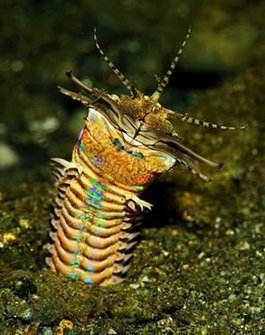 The bobbitt worm.