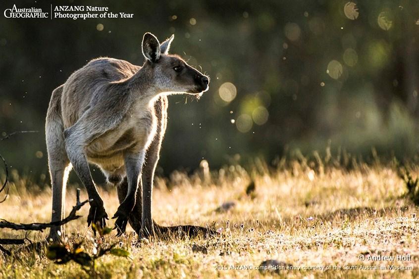 KANGAROO, MACROPUS SP. Kangaroo in Spring, Kaiserstuhl Conservation Park, South Australia. This male kangaroo in Kaiserstuhl Conservation Park was ...