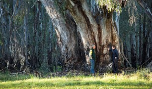 Environmental managers Rick Webster and Paul Childs in front of a big river red gum