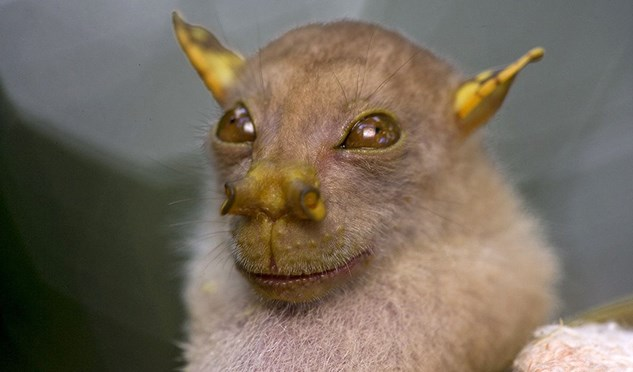 A Yoda bat, found on the northern tip of Queensland.