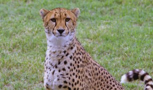 A cheetah is separated from visitors only by a moat and a low fence.