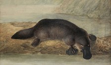 Observations of the platypus led Darwin to develop his theory about the adaptation of species to the environment.