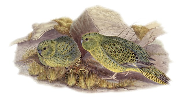 The night parrot. As illustrated by John Gould in 1861.