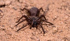 A new species of brush-footed trapdoor spider, found in Cape York, Queensland.