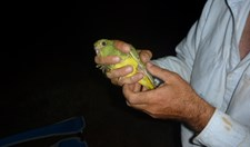 Saving the night parrot
