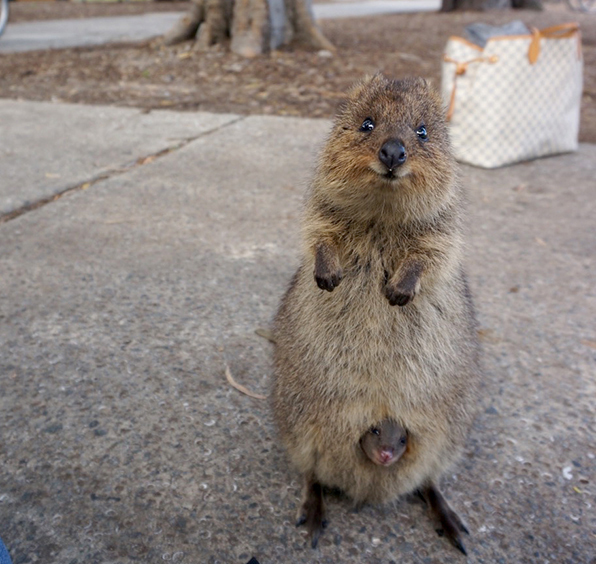 quokka are known for their smiling faces image credit jeanne winarta