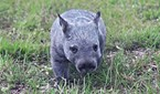 A northern hairy-nosed wombat