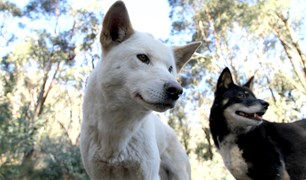Dingoes of Secret Creek.