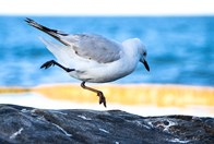 Instead of taking flight, this seagull surprised photographer Agnieszka Bachfischer with a hop!