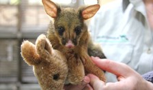 An orphaned brushtail possum is making a speedy recovery at Taronga thanks to a fluffy kangaroo toy.