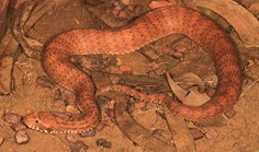 Kimberley death adder