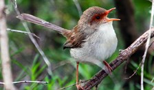 Female fairy-wrens may sing for other females, according to a new study.