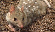Eastern quoll populations may be impacted by short-term weather changes.