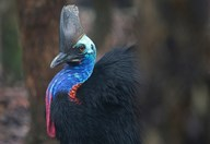 Scientists have photographed the rare southern cassowary in the Daintree, using a clever ploy.